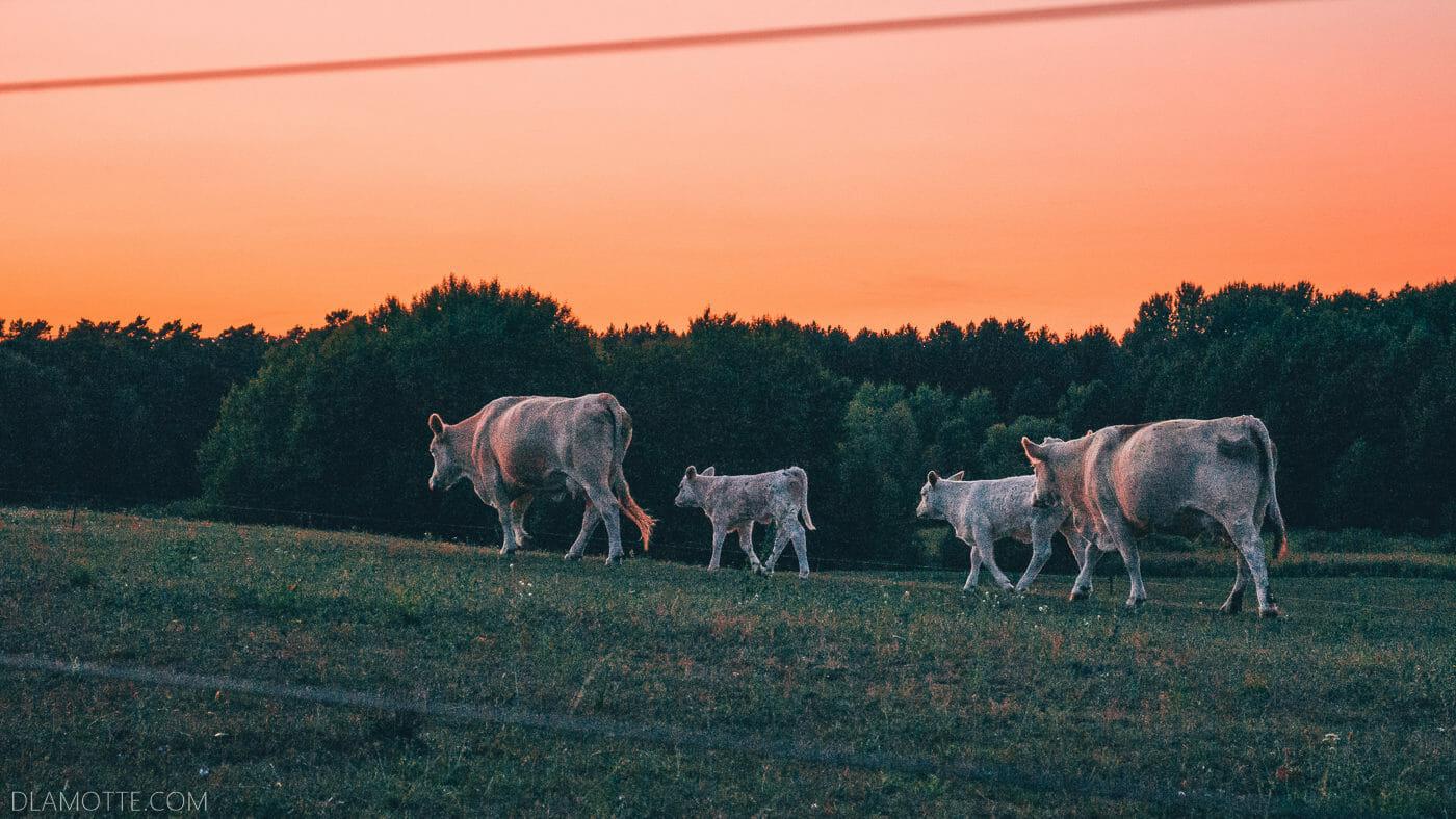 krowy na polu o zachodzie słońca