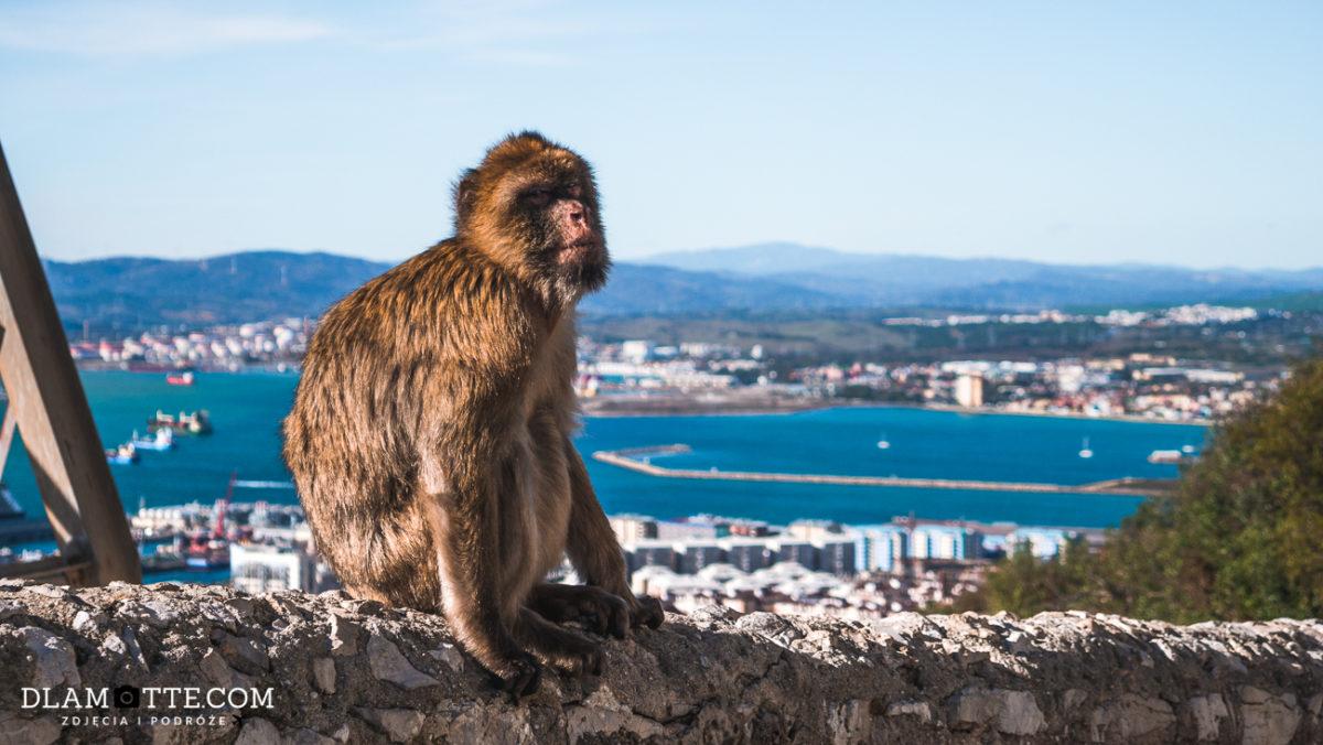 małpa Gibraltar przewodnik po Gibraltarze