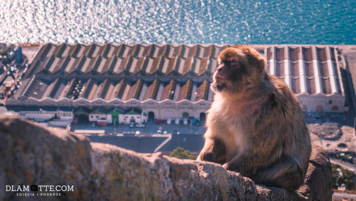 małpa Gibraltar